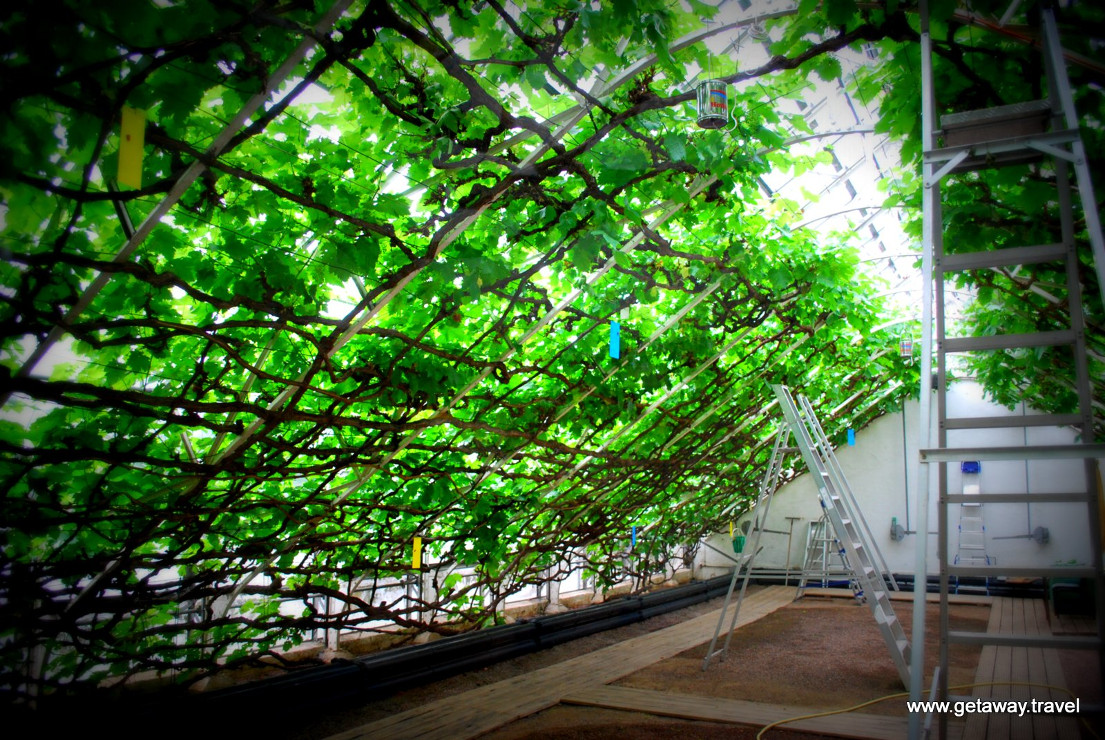 Largest Grape Vine In The World Getaway Travel Llc